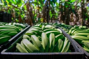 Bananas no semiárido (Foto: Grupo Cultivar)