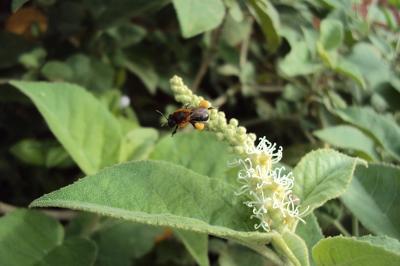 abelha jandaíra