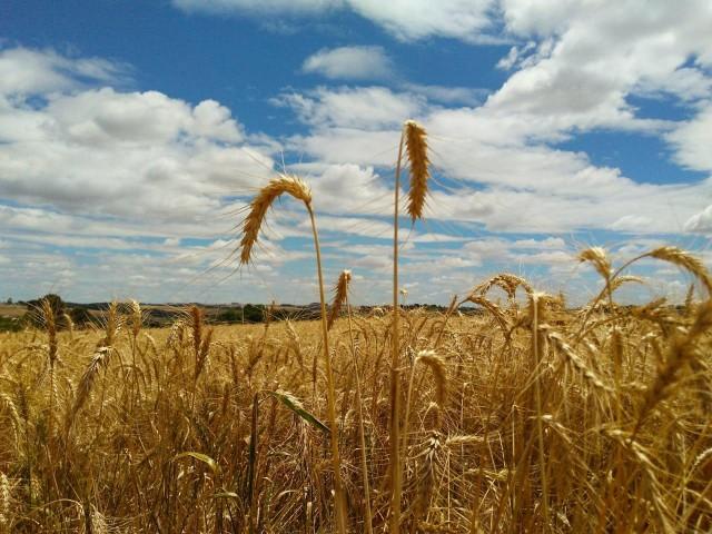 Produção de trigo no semiárido é uma realidade e ao mesmo tempo, um cabedal de dúvidas (Foto ilustrativa)