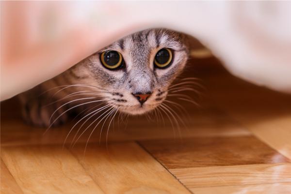 gato debaixo de pano